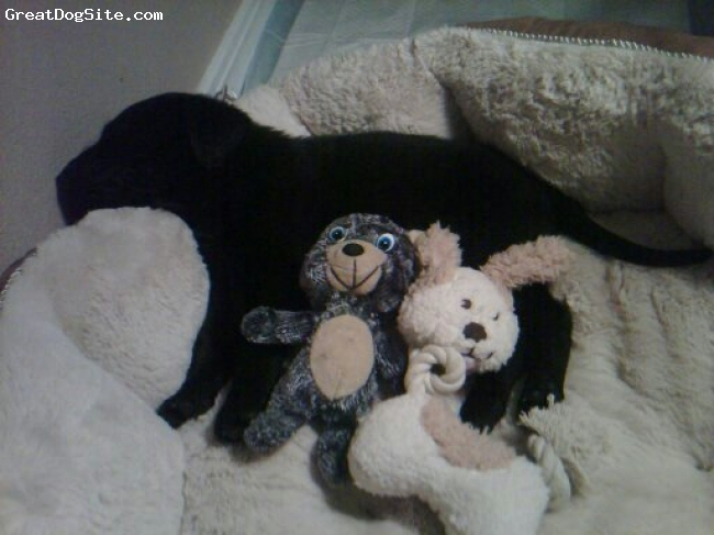Chesador, 13 months, black, Kenai with his babies when he was 30 days old.