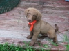 Chesapeake Bay Retriever, 8 WEEKS, BROWN