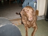 Chesapeake Bay Retriever, 8 years, brown
