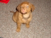 Chesapeake Bay Retriever, 2 months, sedge
