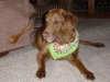 Chesapeake Bay Retriever, 13 years, brown