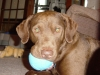Chesapeake Bay Retriever, 4, brown