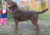 Chesapeake Bay Retriever, 3, dark brown