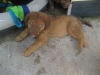 Chesapeake Bay Retriever, 6 weeks, light brown