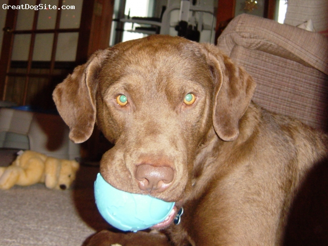 Chesapeake Bay Retriever, 4, brown, Bo loves to play ball!