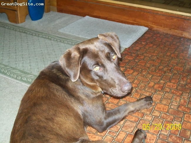 Chesapeake Bay Retriever, 2, brown, Loves to fetch anything!