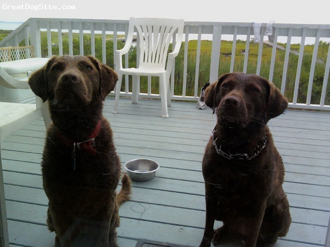 Chesapeake Bay Retriever, 2 1/2, Red / Brown, Just another day after a swim in the chesapeake.
