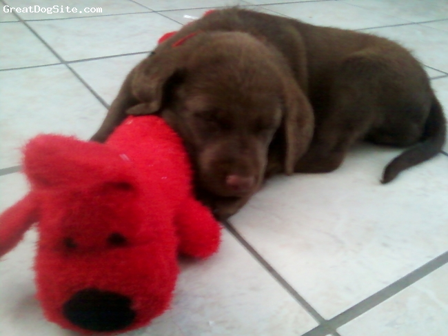 Chesapeake Bay Retriever, 6 weeks, Brown, Such an angel. When he's sleeping