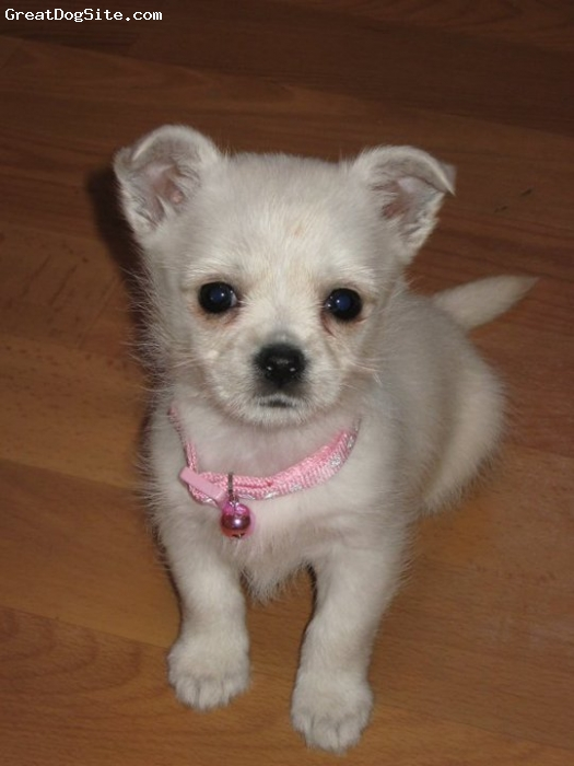 Chestie, 8wks, White, 1 of 4 puppies from a white westie mum and a brown chihuahua dad