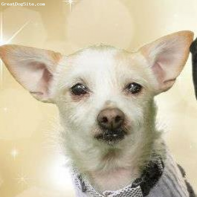 Chestie, 2 1/2 yrs, White & Cream, KoKo is an adult female rescue Chestie.  She is full grown at 12 lbs.