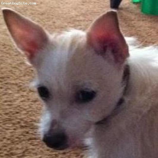 Chestie, 2 1/2 yrs, White & Cream, My lapdog  KoKo.
