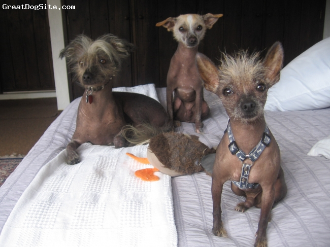 "Chi-Chi, 2 years, Gray, In the front is ""Peluca"", a Chinese Crested- Chihuahua (2 years old). The other two dogs behind are Xolos (Mexican hairless), the one in the left, ""(3 years old) is pure breed and the one in the right is a Xolo-Chihuahua (Apple head) mix (2 years old)."
