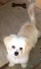 Chi-Chon, 10 months, White
