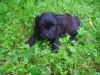 ChiPoo, 9 weeks, black