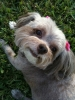 ChiPoo, 8, brown-grey