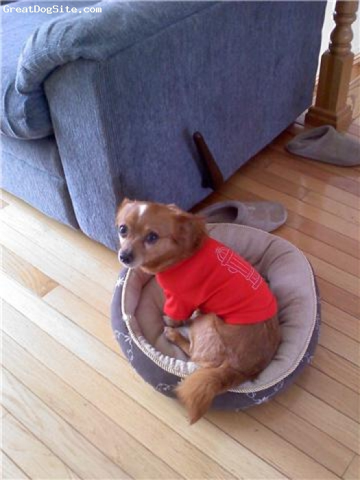 Chigi, about 5, fawn/white, Nugget with his fire hydrant shirt on