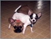 Chihuahua, 6 mos, white/blk