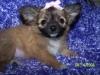 Chihuahua, pup, Sable