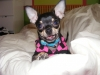 Chihuahua, 1, Black