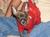 Chihuahua, 3 months, brindle
