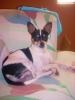 Chihuahua, 1yr 4 months, spots