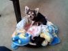 Chihuahua, 11 months & 2months, tri & black