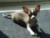 Chihuahua, 1 yr, Choc / white / tan