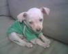 Chihuahua, 7 weeks, white