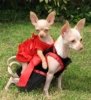 Chihuahua, 1 YR, CREAM