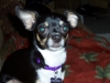 Chihuahua, 2, tri-color