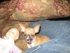 Chihuahua, 9 months, tan