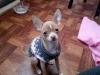 Chihuahua, 4 months, cream