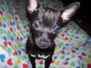 Chihuahua, 2, black / white