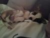 Chihuahua, 6 months, Tri-Color