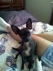 Chihuahua, 4 1/2, black/white