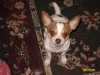 Chihuahua, 2yrs, Whte/Tan