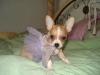 Chihuahua, 10 weeks, Multi