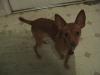 Chihuahua, 1, brown