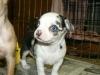Chihuahua, 8 weeks, Merles