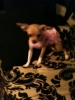 Chihuahua, 6 months, tan