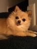 Chihuahua, 10, Fawn