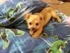 Chihuahua, 4mths, brn/blk