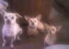 Chihuahua, 2 , 2 , 9months, fawn , cinnimon