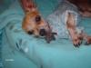 Chihuahua, 12, tan