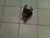 Chihuahua, 3 months & 1 , black & tan