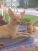 Chihuahua, 2 y/o, Tan