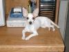 Chihuahua, 7 y/o, White w/tan spots