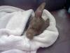 Chihuahua, 4 months, brown