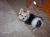 Chihuahua, 21/2 yrs, Tri