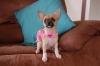 Chihuahua, 1 yr, fawn